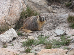Marmots are pretty darn cute. They let out a big whistle call. One time there was a mother and several of her babies out on top on a rock. As I walked by on the trail, the mother became alarmed and ran towards me, calling out her high pitched call. Meanwhile, the babies scampered off the rock and back to safety.
